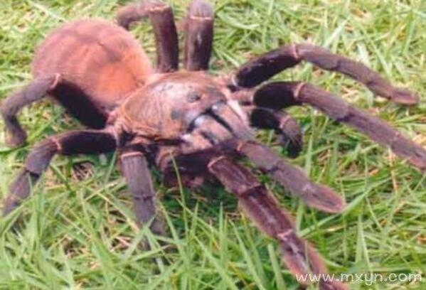 梦见大蜘蛛