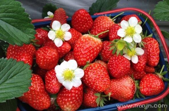 梦见摘草莓