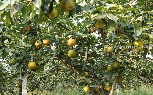 梦见树上结满梨