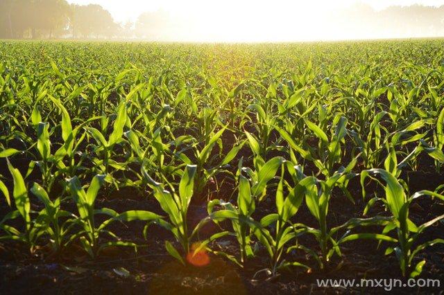 梦见种玉米