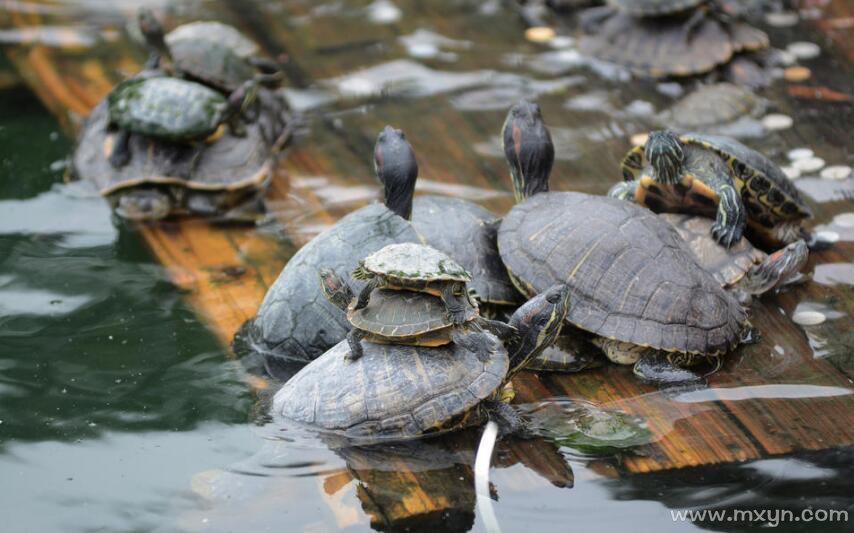 梦见很多乌龟