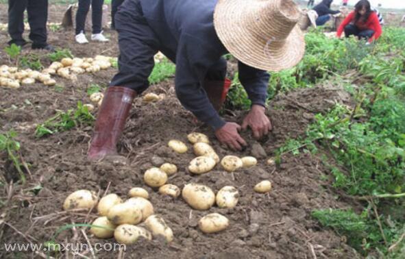 梦见挖土豆