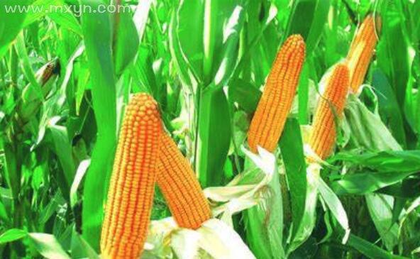 梦见偷玉米