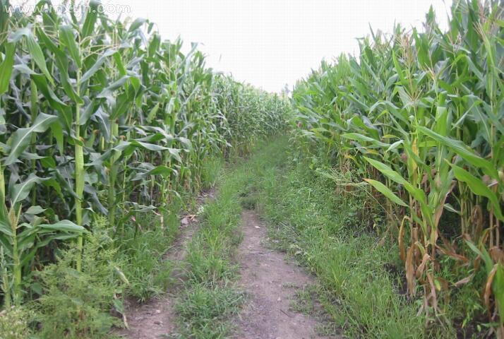 梦见玉米地