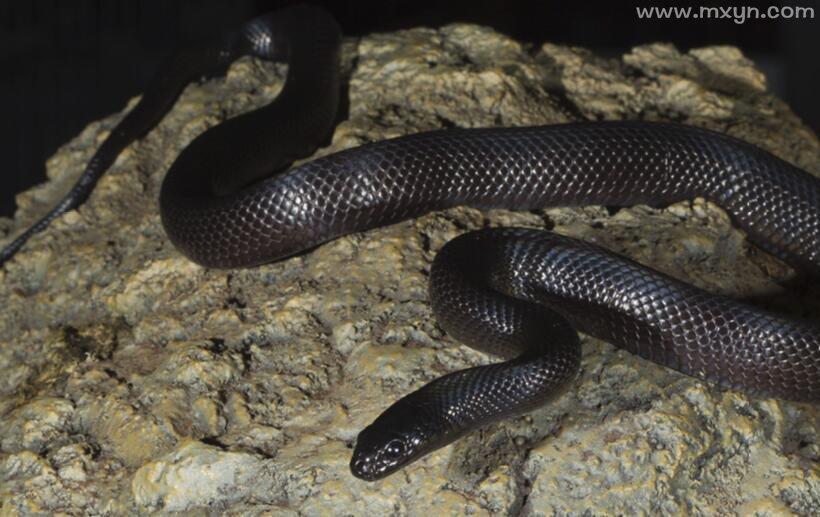 梦见小黑蛇