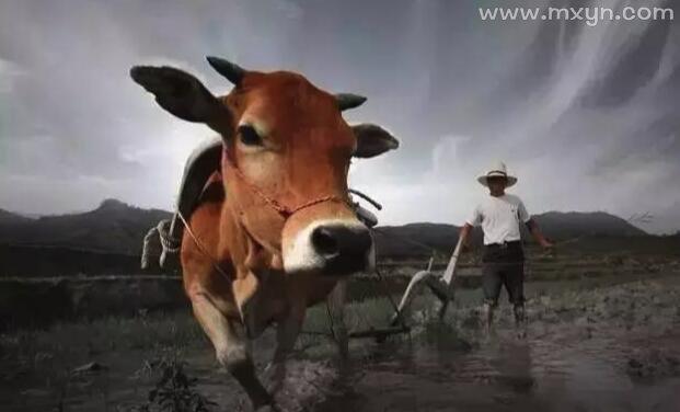 梦见牛死了