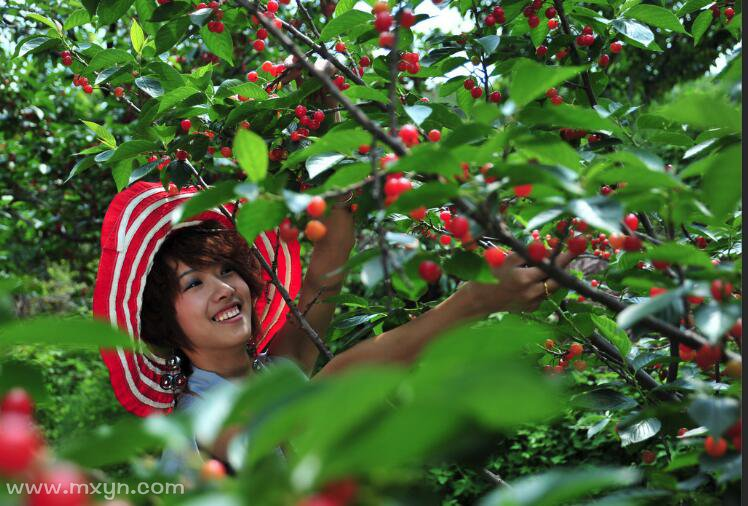 梦见摘樱桃