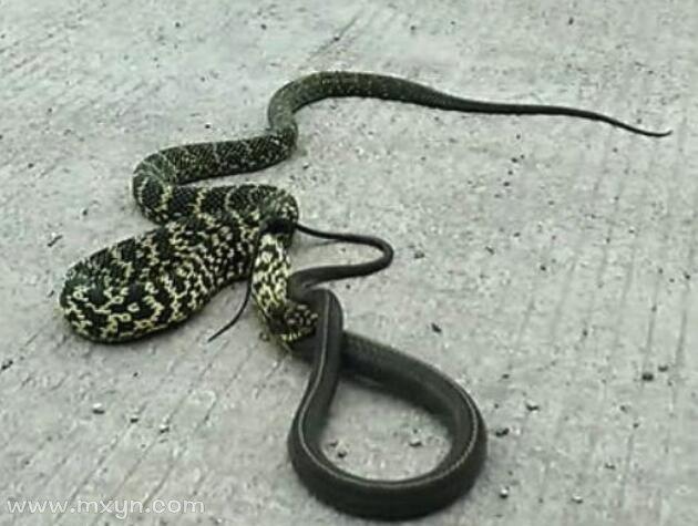 梦见两条蛇打架