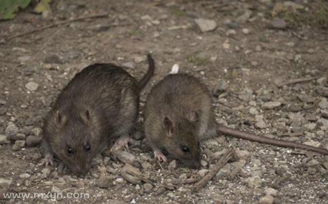 孕妇梦见老鼠