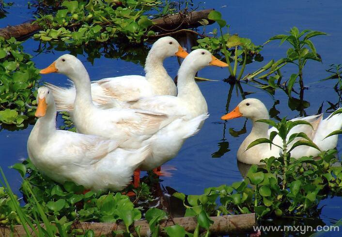 孕妇梦见鸭子