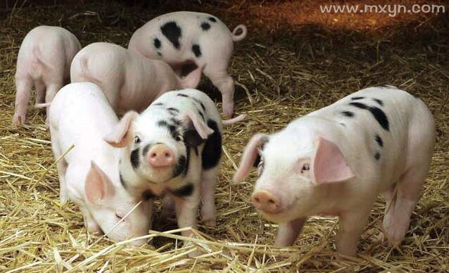 孕妇梦见猪