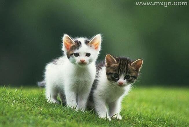 梦见两只猫