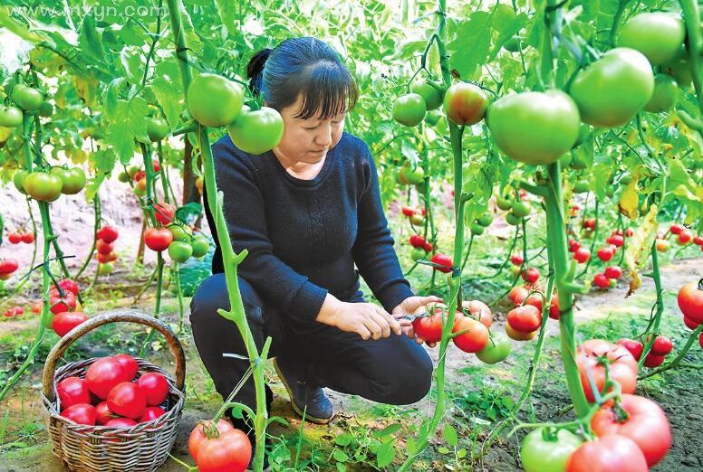 梦见摘西红柿