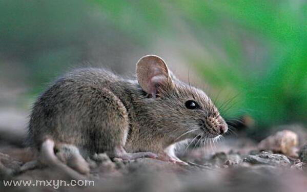 梦见家里有老鼠