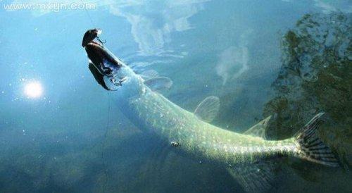 梦见很大的鱼