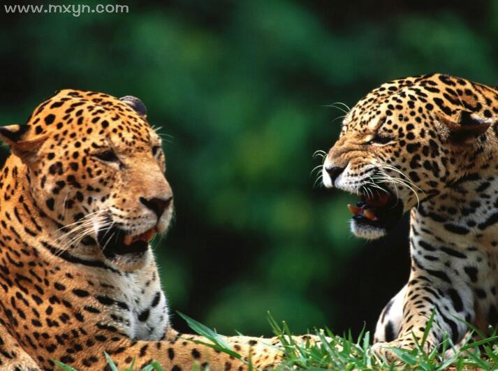 女人梦见豹子