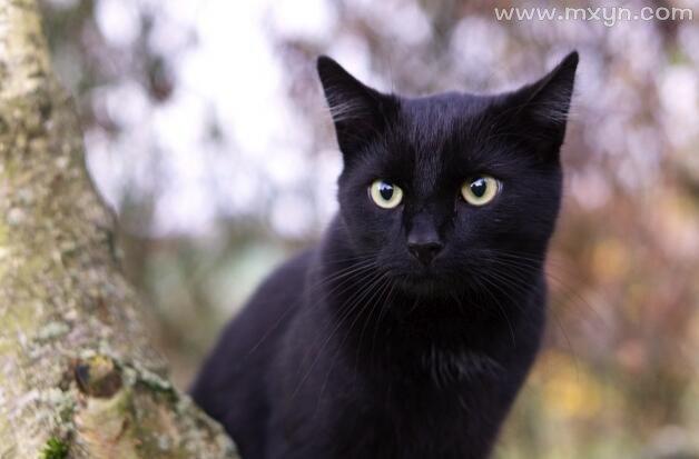 孕妇梦见黑猫