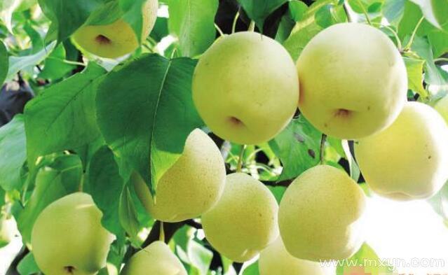 梦见梨树上结满了梨
