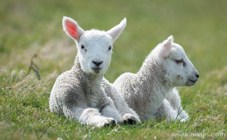 女人梦见白羊