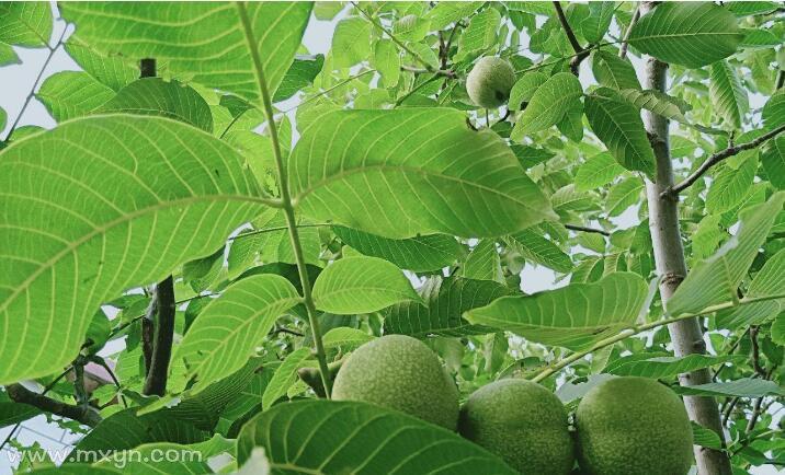 梦见摘树上的绿皮核桃