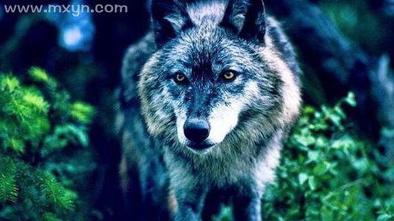 梦见被狼追