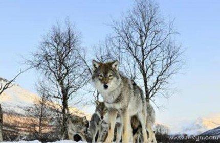 孕妇梦见狼