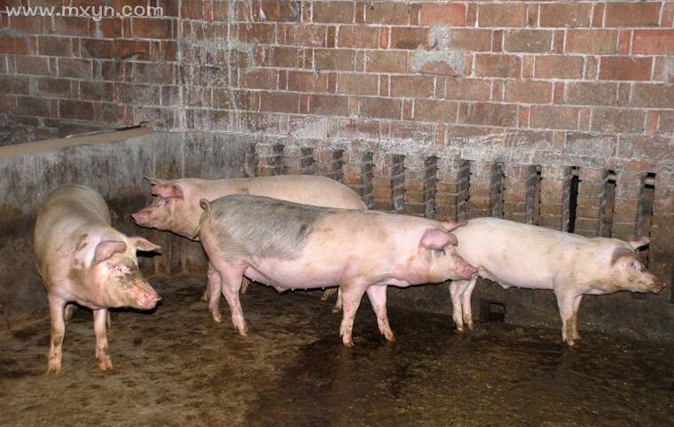 梦见猪圈里有猪