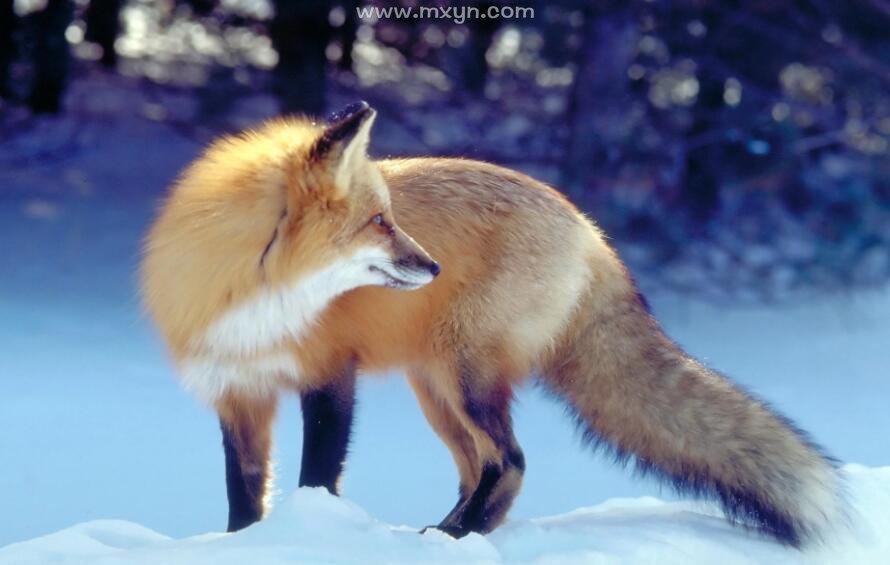 女人梦见狐狸