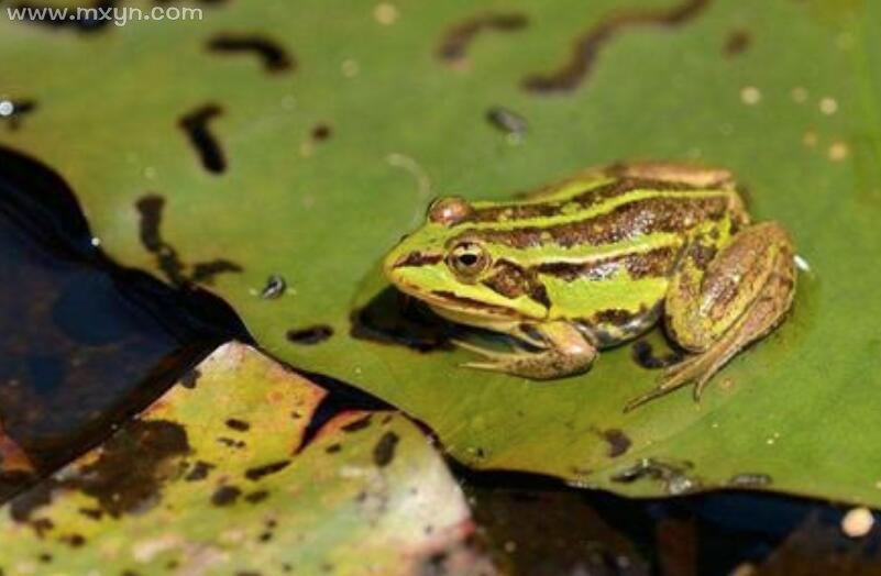 女人梦见青蛙