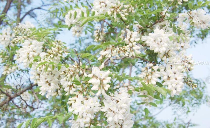梦见槐树开满白花