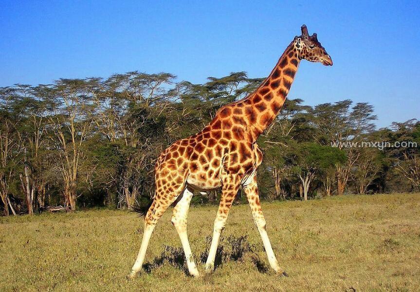 梦见长颈鹿