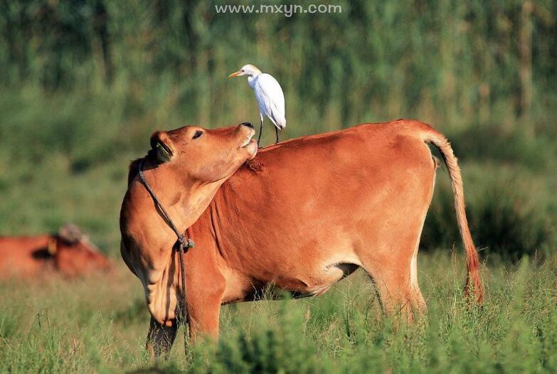 梦见被牛追着跑
