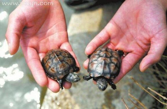 梦见抓到乌龟