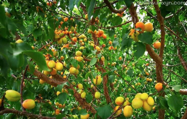 梦见杏子树硕果累累