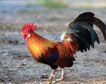女人梦见公鸡追着啄我