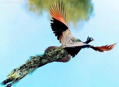梦见孔雀在天上飞
