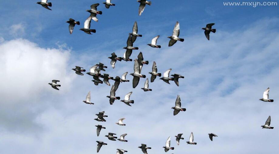 梦见鸽子死了