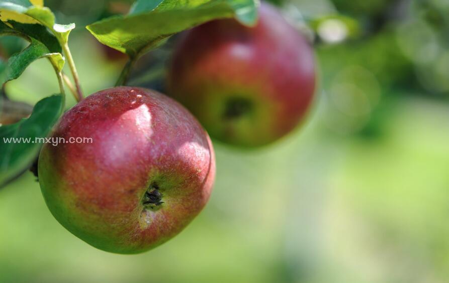 梦见偷苹果