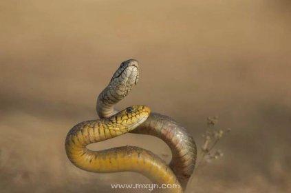 梦见一对蛇