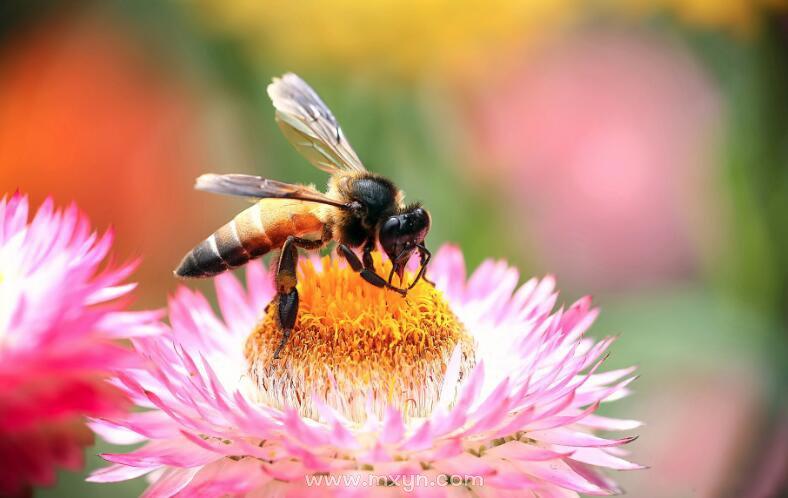 孕妇梦见蜜蜂