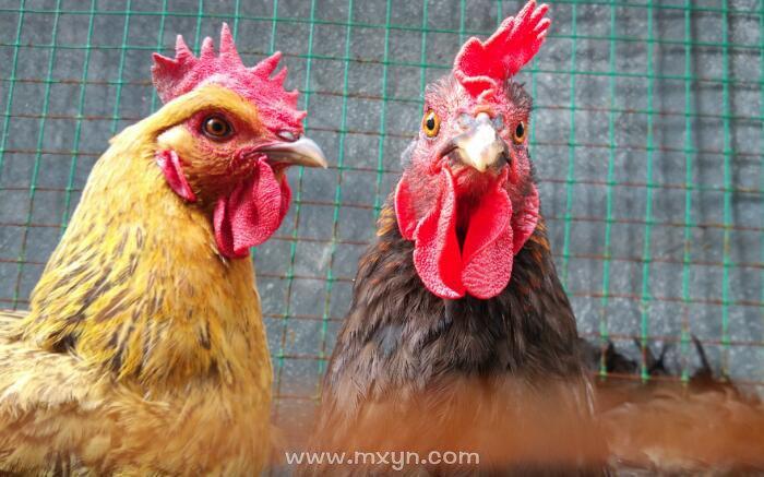 梦见别人杀鸡